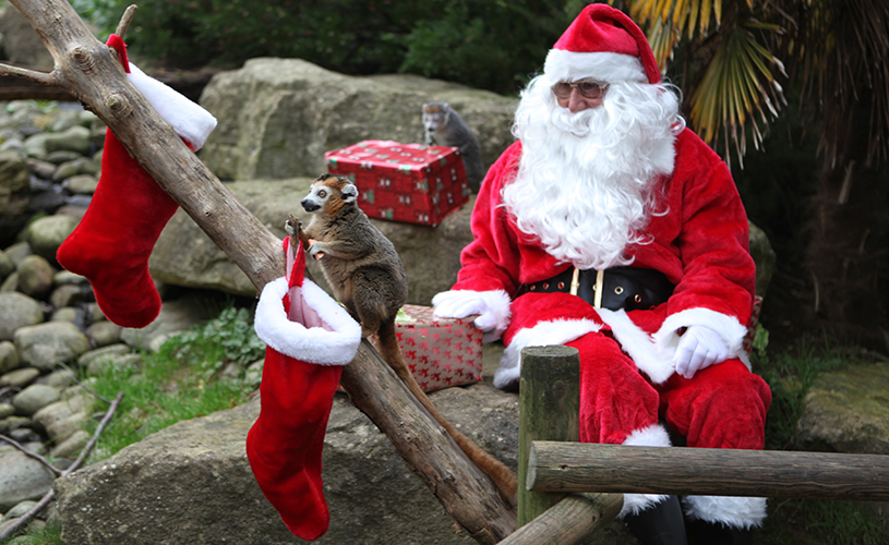 Santa at Bristol zoo with crowned lemurs and stockings