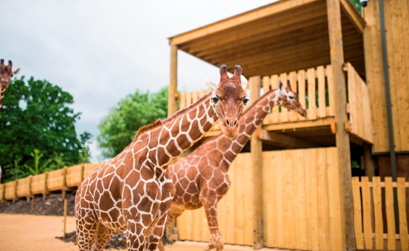 Two giraffes at Wild Place Project