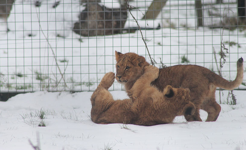 Lion Cubs in the Snow