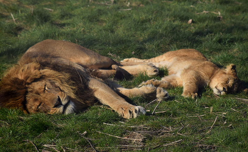 Masai, the African lion has been reintroduced to his cubs.