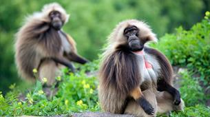 Gelada experience at Wild Place Project