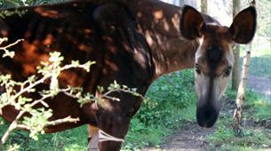 Feed the okapi at Wild Place Project
