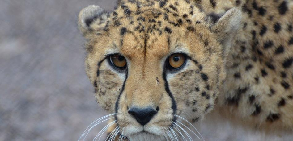 Cheetah at Wildplace