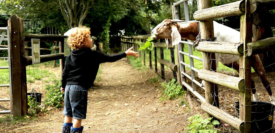 Bristol for Families: Goat at Windmill Hill City Farm - Credit Anna DeBenedictis