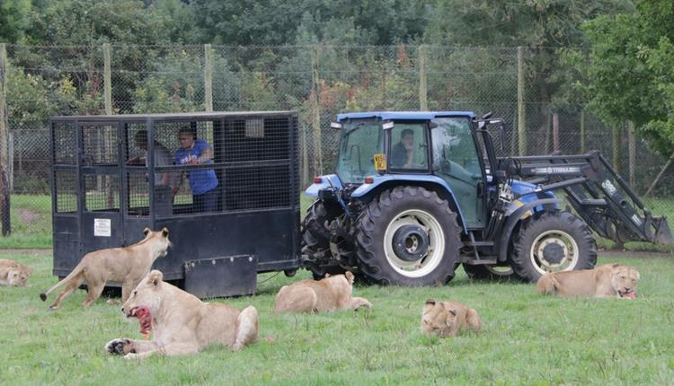 Big cat experience at Longleat