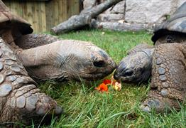 Giant tortoises at Bristol Zoo Gardens