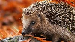 Helping hedgehogs at Bristol Zoo Gardens