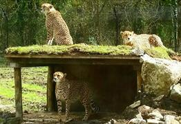 Cheetah's at the Wild Place Project