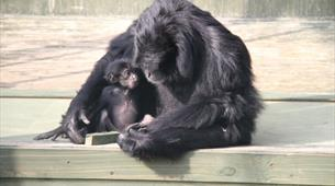 Siamang Gibbon at Noah's Ark Zoo Farm