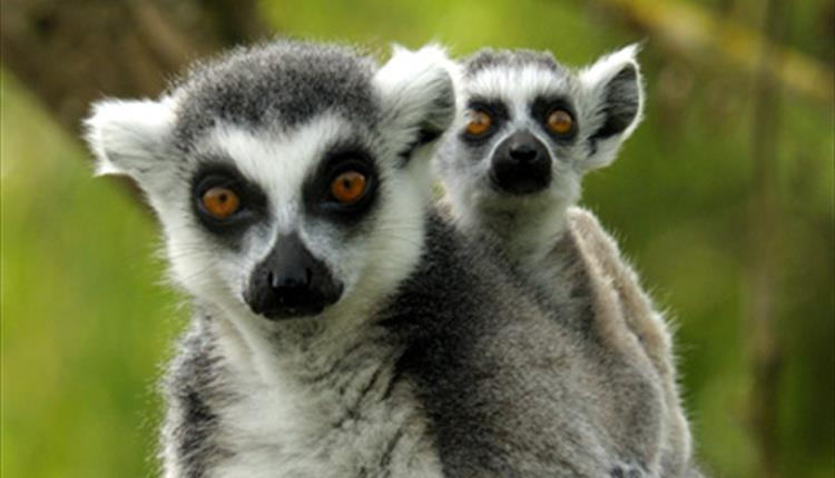 What Things Are Special About The Ring Tailed Lemur