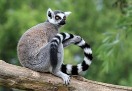 Wild Place Project Bristol: Ringtail Lemur