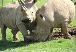 Rhinos at Noah's Ark Zoo Farm