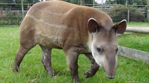 Tapirs at Noah's Ark Zoo Farm